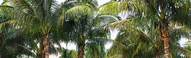 Dwarf Coconut Palm Trees For Sale