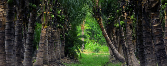 Where To Buy Palm Trees In Florida